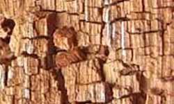dry-rot